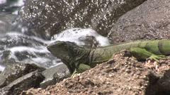 Lizard Aruba island in the caribbean - stock footage