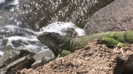 Stock Video Footage of Lizard Aruba island in the caribbean