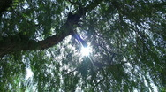 Stock Video Footage of Tree and Sun Full hd 1080p