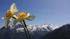 mountain flower - stock footage