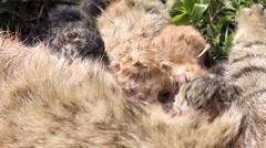 10 minutes old newborn cat is drinking milk 2 Stock Footage