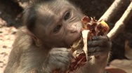 Monkey eating in the jungle  Stock Footage