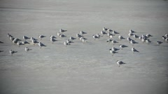 Migrating Seagulls Resting On Arctic Sea Ice Stock Footage