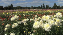 White asters in front of a field view Stock Footage