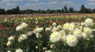 Stock Video Footage of White asters in front of a field view