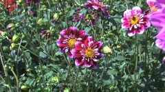 Zooms in on a pink and white aster Stock Footage