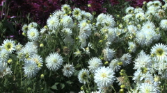 White asters in a cluster Stock Footage