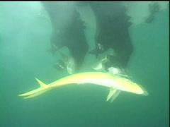 Dorado underwater next to boat Stock Footage