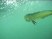 Dorado underwater Stock Footage