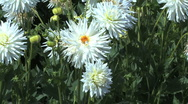 Bee lands on a white aster Stock Footage