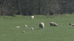 Ewes and lambs. Sheep. Pheasant walks. Stock Footage