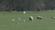 Stock Video Footage of Ewes and lambs. Sheep. Pheasant walks.