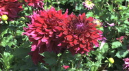 Stock Video Footage of Two red asters