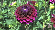 Stock Video Footage of A dark reddish purple aster