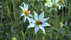 A bee lands on a white aster Stock Footage