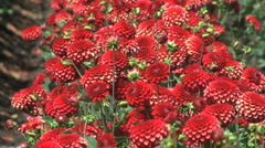 Many bright red asters Stock Footage