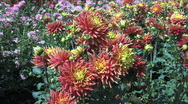 Stock Video Footage of Red and yellow asters