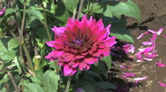 Stock Video Footage of A deep pink aster