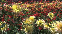 Yellow asters in a field  Stock Footage