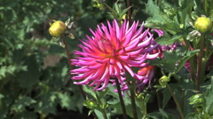 A beautiful pink aster Stock Footage