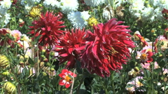 Red asters in a field Stock Footage