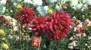 Stock Video Footage of Red asters in a field