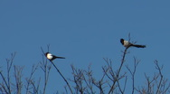 Stock Video Footage of Two magpies perched high in a treetop, one flies away