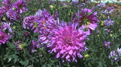 Pink asters in a field Stock Footage