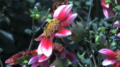 Bee on an aster's yellow center Stock Footage