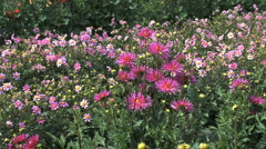 Pink asters in a field - stock footage