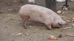Lazy pig Stock Footage