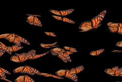 Monarch Butterly Swarm (NTSC) - stock footage