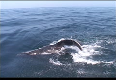 Whale on surface - stock footage