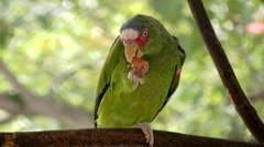White Fronted Parrot Eating Large Treat (HD) Stock Footage
