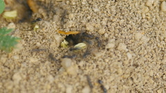 Ants - Timelapse, bugs Stock Footage