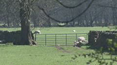 Ewes and lambs at gate as pheasant walks. Sheep. Stock Footage