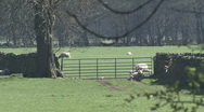 Stock Video Footage of Ewes and lambs at gate as pheasant walks. Sheep.