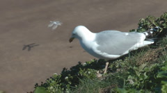 Common gull walks on cliff edge above beach Stock Footage
