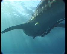WhaleShark2-JPEG 75 PAL - stock footage