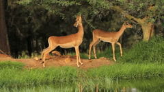 Two African Antelope Impala Eating Thorns GFHD Stock Footage