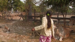 Cambodia: Girl Takes Cows out to Pasture  Stock Footage
