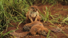 African Ground Squirrels GFHD Stock Footage
