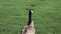 Goose responding to call Stock Footage