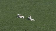 Stock Video Footage of Two lambs rest in spring sunshine. Sheep.
