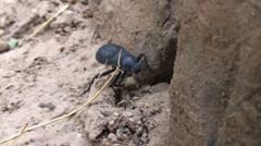 Large beetle Stock Footage