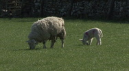 Stock Video Footage of Ewe and her lamb graze. Sheep.