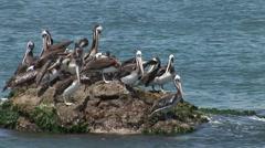 Pelicans On Rock Stock Footage
