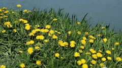 Dandelion Field With Water Background Stock Footage
