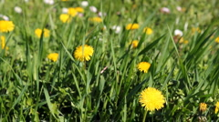 Meadow With Yellow Dandelions Stock Footage