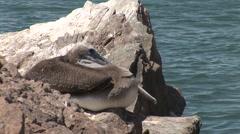 Sleeping Pelican Stock Footage